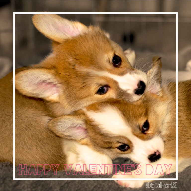 Valentines Day Puppies CC BY SA